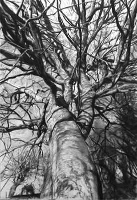 Higher Kelly Calstock Beech (Fagus silvatica) by Kevin Tole, Drawing, Beech charcoal, compressed charcola white charcoal and conte