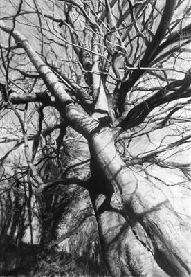Higher Kelly, Calstock Twisted Beech by Kevin Tole, Drawing, Charcoal on Paper