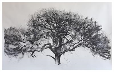 Higher Piles Oak, Quercus robur, southern Dartmoor by Kevin Tole, Drawing, Charcoal and Chalk