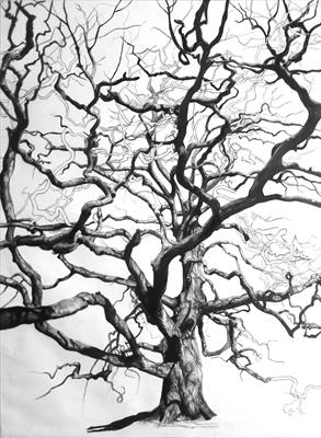 Lucombe Oak (Quercus x hispanica 'Lucombeana), Widey Woods, by Kevin Tole, Drawing, Various handmade and commercial charcoals